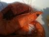 shrimp-close-up